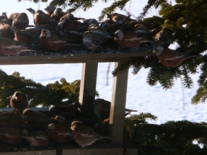 Gray-crowned Rosy-finches at feeder in the winter of 2009-2010