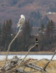 Snowy Owl and Black-billed Magpie