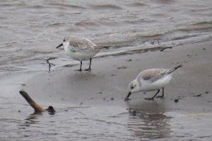 Sanderlings-17Nov14-AnchorRiver