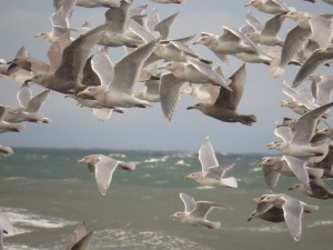 Gulls-4