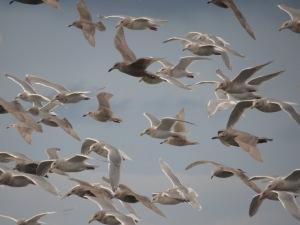 Gulls-5