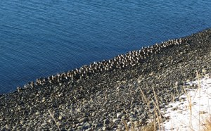 Flock of Rock Sandpipers at Homer Boat Harbor