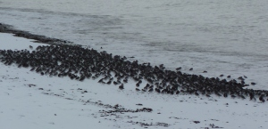 Rock Sandpipers on west side of Homer Spit