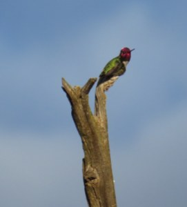 Anna'sHummingbird