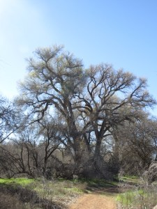 GiantCottonwoodTrees
