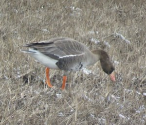 Greater-White-frontedGoose