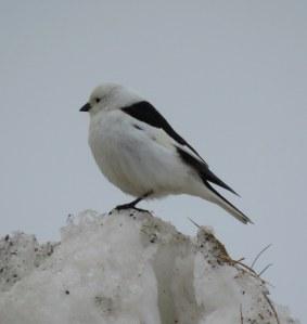SnowBunting-2