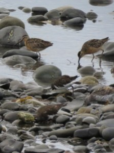 Dowitchers-1