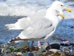 Gull-Comparison