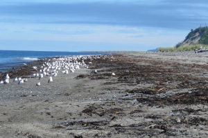 Lots-of-Gulls