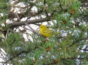 YellowWarbler